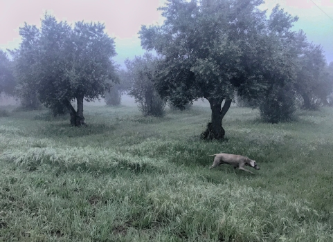 Colins olive grove and dog Roxy.